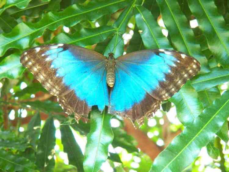 Key West Butterfly Conservatory: Vivid blue butterfly