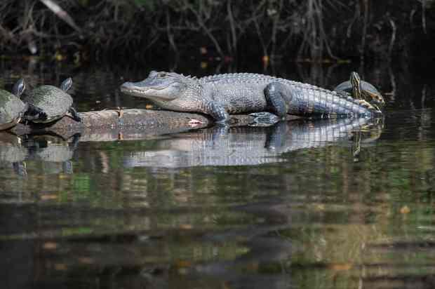 alligator on myakka river