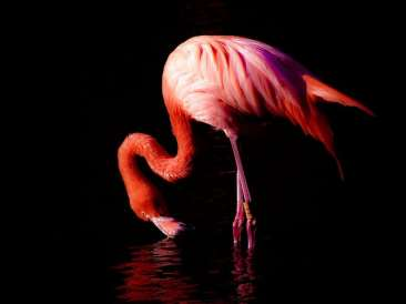 Carribean flamingo (Photo by rubyblossom via Flickr)