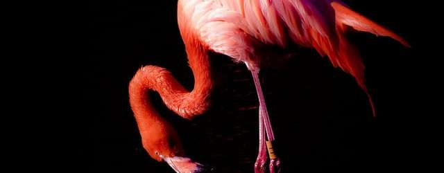 Carribean flamingo (Photo by rubyblossom via Flickr)