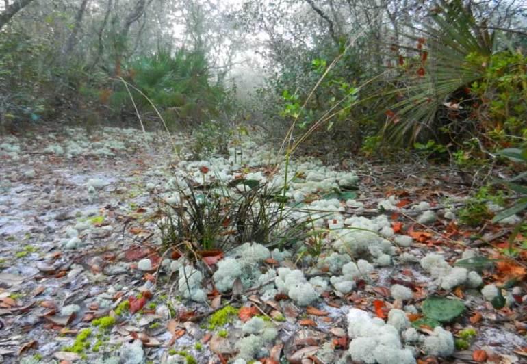 silver-river-lichen
