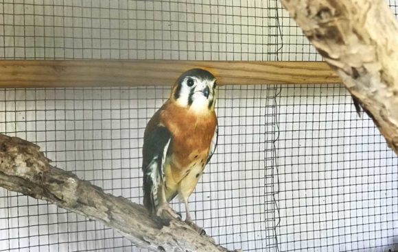 An injured American kestrel is one of the birds at the Key West Widllife Center. (Photo: Bonnie Gross)