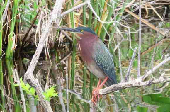 Green heron along the Silver, one of many varieties of birds there. (Photo: Bonnie Gross)