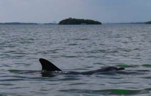 We spotted dolphin in Estero Bay three times on our kayak trip to Mound Key State Archaeological Park. (Photo: Bonnie Gross)