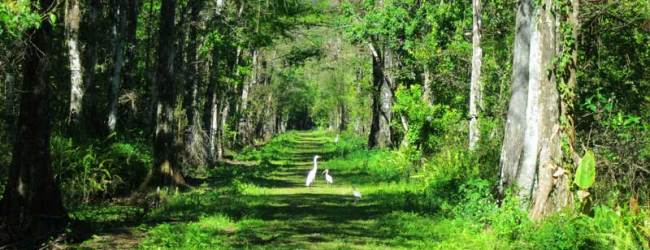 Good birding at Corkscrew Bird Rookery Swamp Trail.
