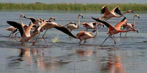 Flamingoes seen in a remote site in Palm Beach County