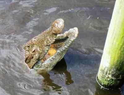 A begging gator at St. Augustine Alligator Farm.