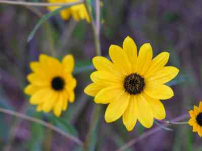Southeastern sunflower. Photo by Dan Culbert, University of Florida Institute of Food and Agricultural Sciences