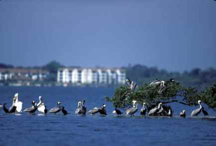 brown_and_white_pelicans_Pelican_Isl_George_Gentry_FWS