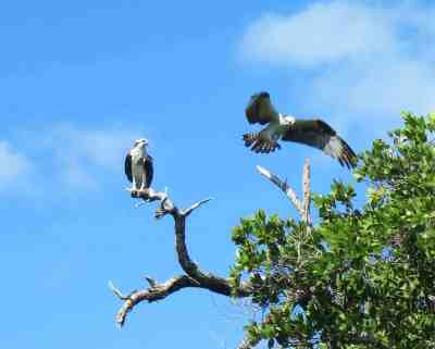 Ospreys at Delnor-Wiggins Pass State Park. (Photo: Bonnie Gross)