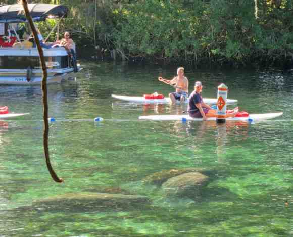 The manatees are within the roped-off sanctuary called Idiot's Delight Spring, just outside Three Sisters Spring.