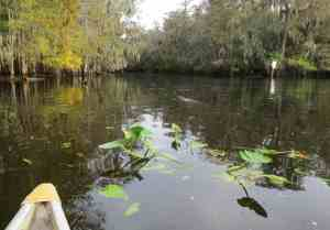 A manatee's nose emerges from the tannic waters of the Suwanee River right outside the springhead at Manatee Springs State Park.