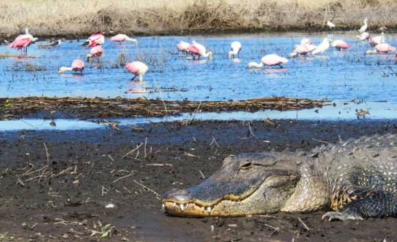 A gator seemed to protect the entrance to the mud flats that attracted roseate spoonbills, stilts and storks, among other birds.