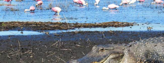 A gator seemed to protect the entrance to the mud flats that attracted roseate spoonbills, stilts and storks, among other birds. This is along the river in Myakka Lake State Park.