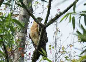 Red shouldered hawk at Crowley Museum & Nature Center