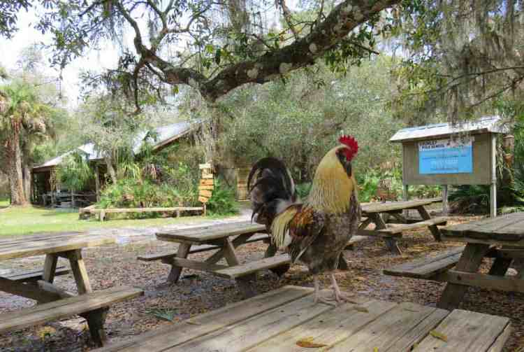 Rooster at Crowley Museum & Nature Center