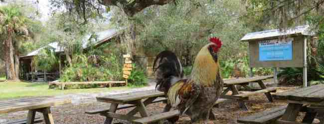 The rooster joined us at our picnic table at the Crowley Museum & Nature Center