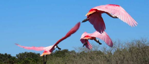 On a March visit, two dozen roseate spoonbills were feeding in a wetland along the Myakka River inside Myakka River State Park.