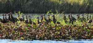 A flock of whistling ducks near the bridge at Myakka River State Park.
