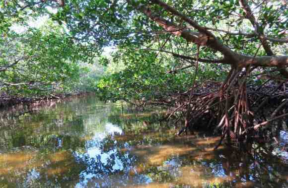 Mangrove tunnell within Don Pedro Island State Park, Cape Haze.