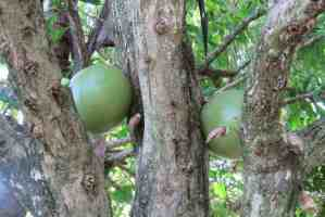 Calabash tree at the Kampong in Coconut Grove