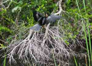 Anhinga on a dead mangrove at Shark Valley in Everglades National Park. (Photo: Bonnie Gross)
