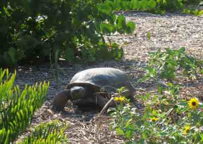 It's easy to spot gopher tortoises at Bowditch Point Park in Fort Myers Beach. (Photo: Bonnie Gross)