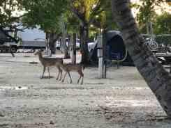 Key deer at Big Pine Key Fishing Lodge Campground