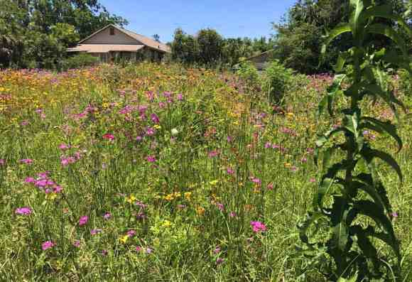 In late May we were thrilled to see many wildflowers in the roads around Lafayette Springs State Park. (Photo: Bonnie Gross)