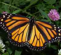 Monarch butterfly by Kenneth Dwain Harrelson