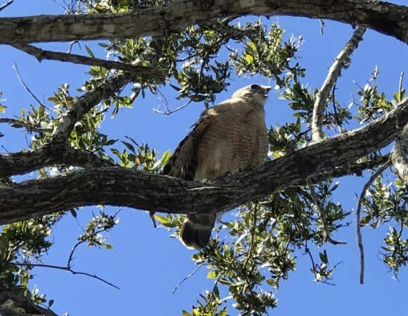 A hawk screeched from a branch just above me at the Alligator Alley rest stop at MM 35. (Photo: Bonnie Gross)