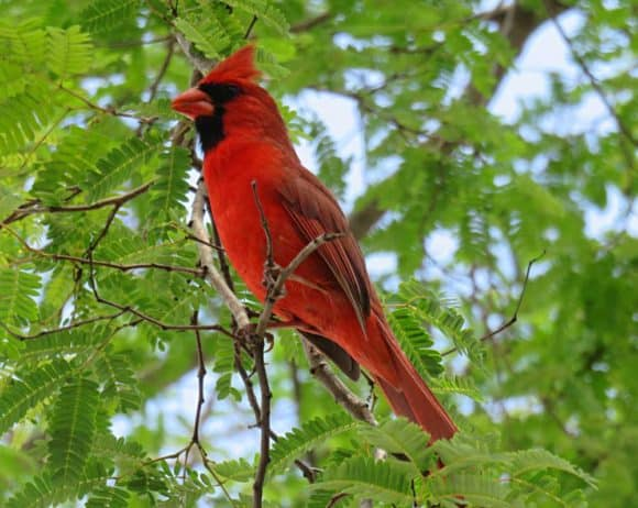 Cardinal at Everglades National Park. (Photo: Bonnie Gross)