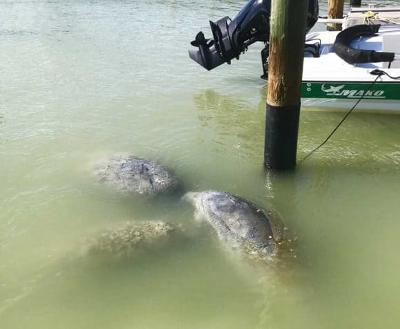 Manatees at Flamingo Marina, Everglades National Park. (Photo Bonnie Gross)
