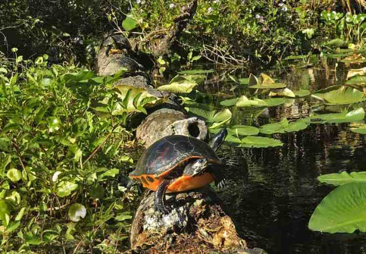 We loved the wildlife aat Alexander Springs in Ocala National Forest, including so many turtles. (Photo; Bonnie Gross)