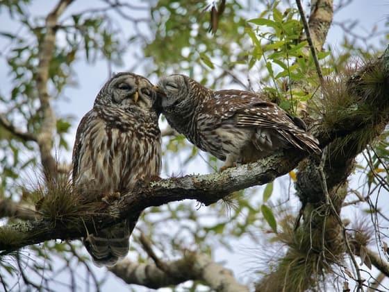 owls at myakka state park