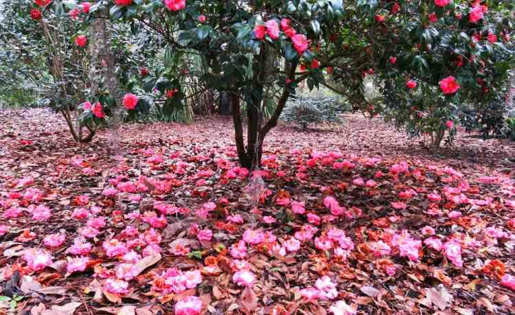 Camelias blanket the ground during spring at Leu Gardens in Orlando. (Photo: Bonnie Gross)