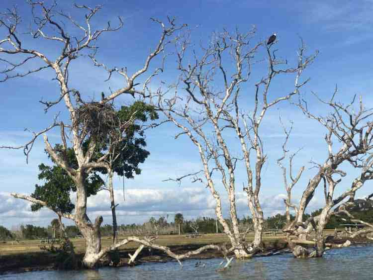 Osprey and nest near Flamingo in Everglades National Forest. (Photo: Bonnie Gross)