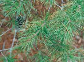 Closeup of a Florida sand pine, the type of tree you can cut in Ocala National Forest.