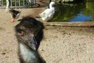 Robert-Is-Here-emu