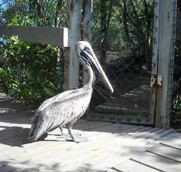 Florida Keys Wild Bird Center: Pelican