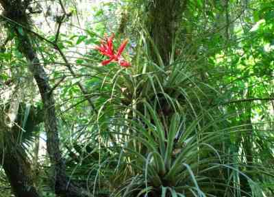 Airplants decorated the cypress and oak trees on Arbunkle Creek.