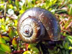 Lake Ashby apple snail