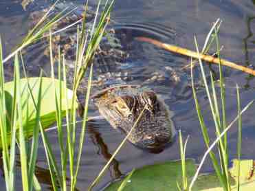 Lake Ashby alligator