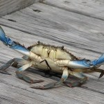 Memorial Day Weekend: Palatka Blue Crab Festival