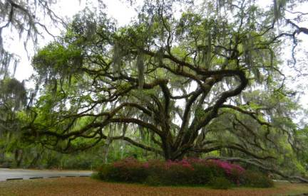 De Leon Springs State Park: Live oak tree and azaleas in spring