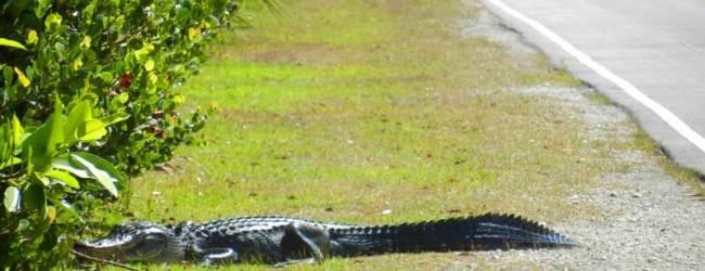 Loop Road: Storied road through Everglades is full of wildlife