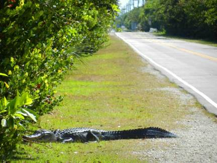 This gator sauntered across Loop Road as we unloaded our bikes one April day.