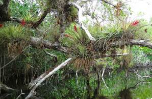 Epiphytes along Halfway Creek, Everglades National Park, off the Tamiami Trail