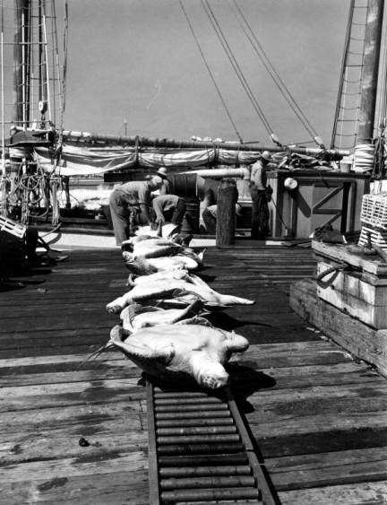 Sea turtles on Key West dock after removal from the turtle boat in 1966. (Photo from Florida Memory Project.)