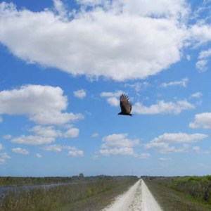 Vulture sweeps the skies at the Loxahatchee National Wildlife Refuge
